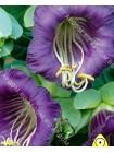 Кобея (Cobaea scandens)